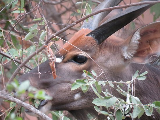 Kings Camp: Bushbuck