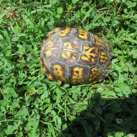 David Crockett State Park: Tortoise on trail.
