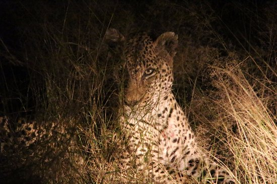 Dulini Lodge: A Large Male Leopard After an Impala Kill