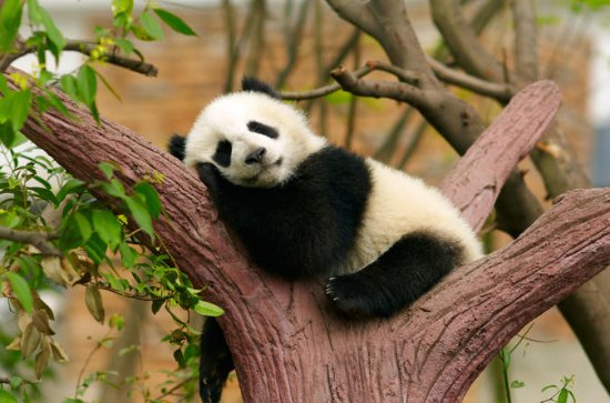 Private Tour: Be a Panda Volunteer...
