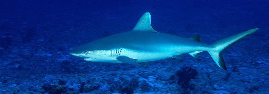 Sørlige Male-atollen: Grey reef shark patrolling the reef