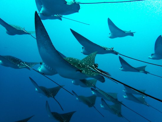 Sydlige Malé-atol: Eagle rays crossing the channel