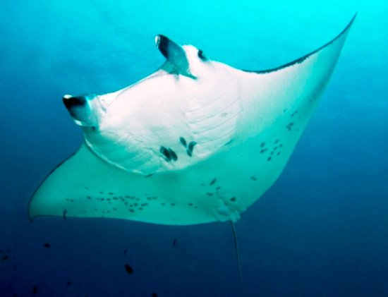 Sørlige Male-atollen: A diver's dream: a Manta in flight