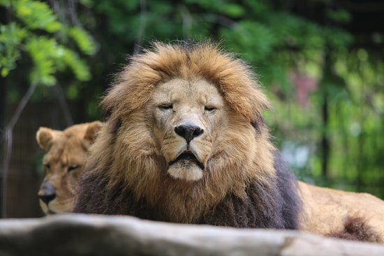 Caney, แคนซัส: Sammy our male African Lion