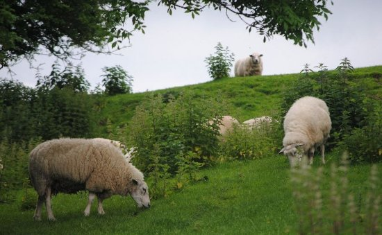 County Kilkenny, Ireland: Sheep at Kells