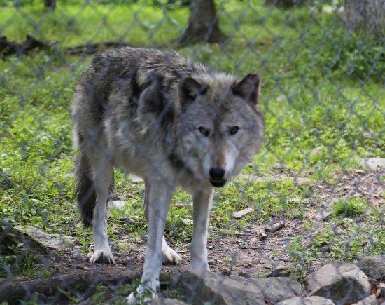 Lakota Wolf Preserve: Wolf