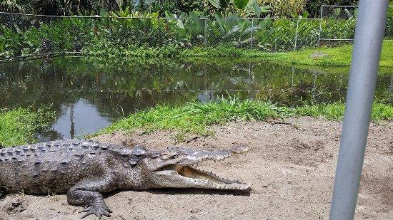 Los Lagos Hotel Spa & Resort: Crocodile in wildlife area.
