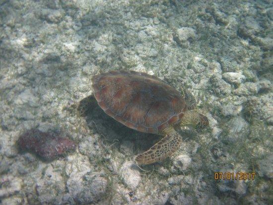 Snorkeling Adventures: Beautiful underwater turtle