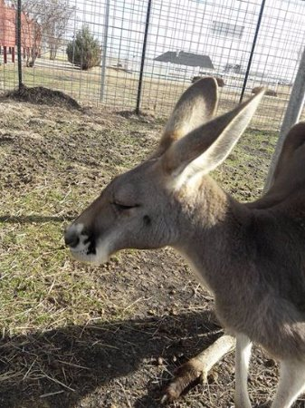 Forney, เท็กซัส: Visit Abner our Red Tailed Kangaroo at The Gentle Zoo!!
