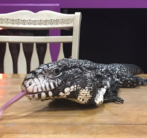 Forney, TX: Black and White Argentine Tegu named Chomper lives at The Gentle Zoo!!