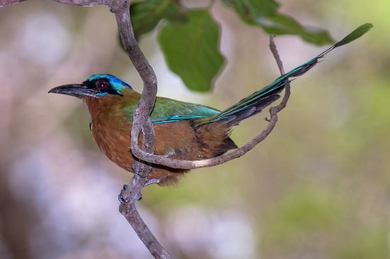 The Speyside Inn: A Trinidad Motmot from the grounds of the Inn