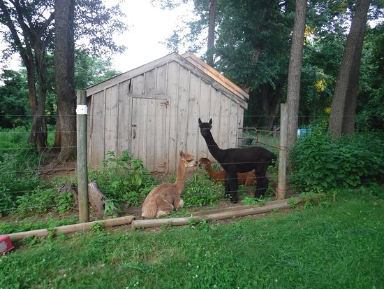 Chimney Hill Estate & Ol' Barn Inn: The alpacas were in a shady spot, looked contented, and had recently (as you can see) been shorn