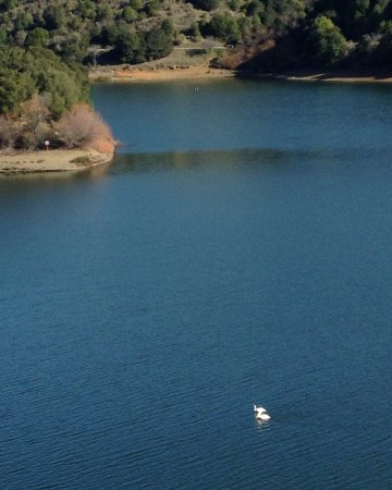 Castro Valley, Kalifornien: White pelicans on Lake Chabot