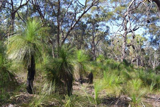 North Stradbroke Island, Australien: Xanthorrhoea grasstrees
