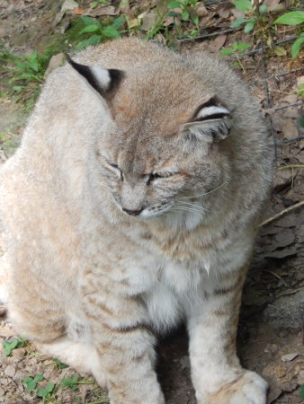 Hanna City, IL: Bobcat Close Up