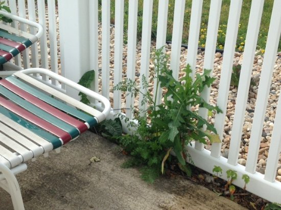 Best Western Dodgeville Inn & Suites: Huge weeds along pool fencing.