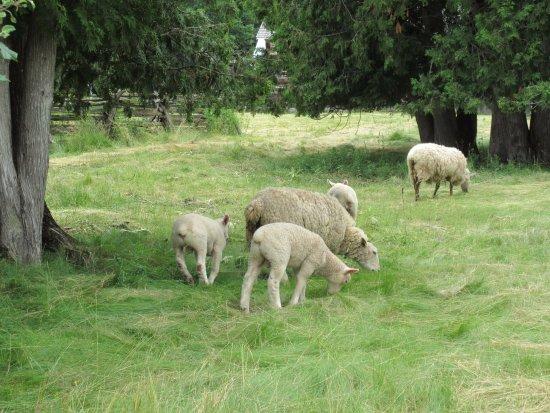 Keene, Καναδάς: Sheep!