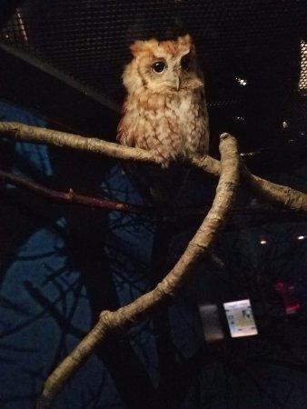 Virginia Living Museum : screech owl