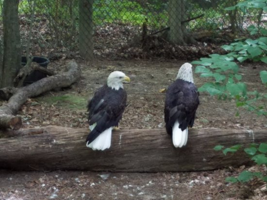 Virginia Living Museum : bald eagels
