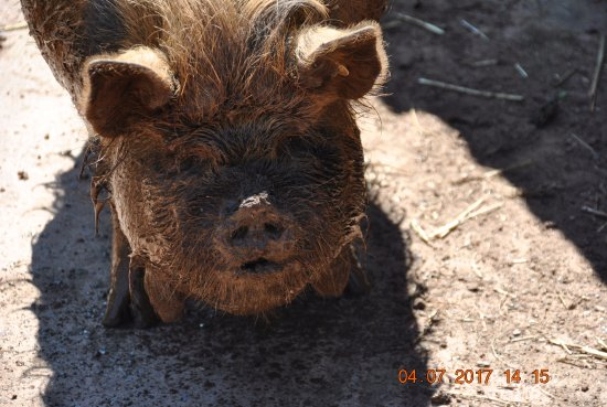 Washford, UK: one of the piggies