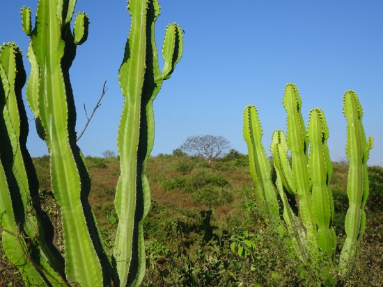 Lambayeque Region, Perù: San Pedro cactus