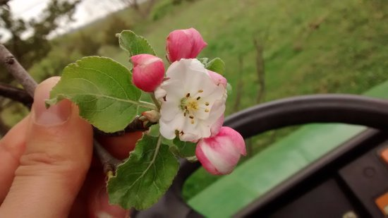 La Farge, WI: Apple blossoms on the homestead