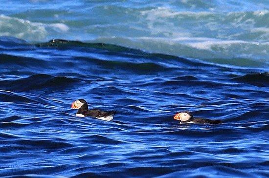New Harbor, ME: Atlantic puffins near Eastern Egg Rock Island