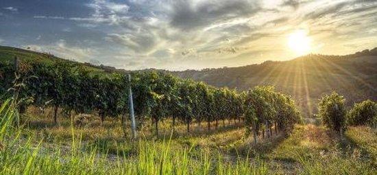 Montalto delle Marche, Italia: Le nostre vigne. Our vinegards