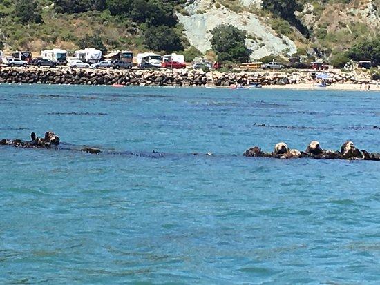Raft of Sea Otters in Avila Beach, April, 2017