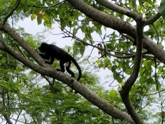 The Harmony Hotel: Howler monkey hanging by the pool at the Harmony