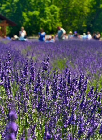 East Marion, NY: Vistors wandering through the lush lavender fields.