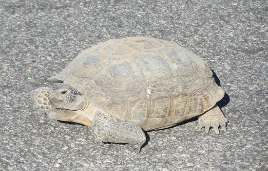 Temple Bar Marina, อาริโซน่า: desert tortoise crossing the road