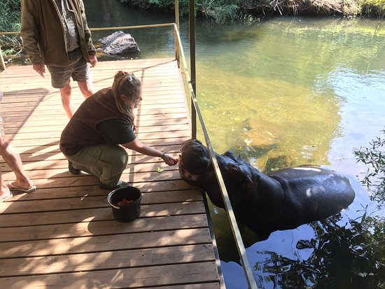 Hoedspruit, Sudáfrica: Feeding Jessica the Hippo carrots for a snack