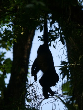 Canoa Aventura: Howler monkey