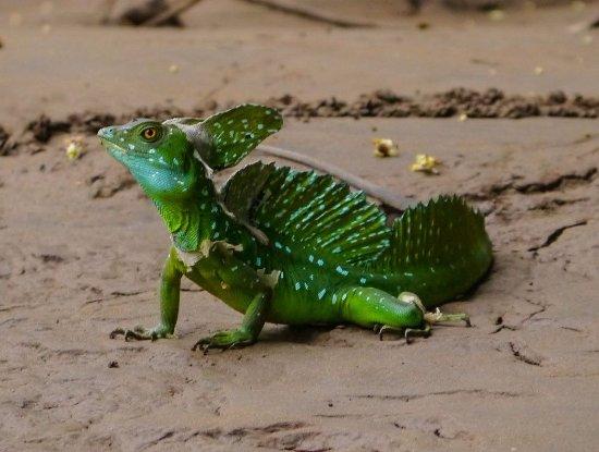 Canoa Aventura: basilik lizard