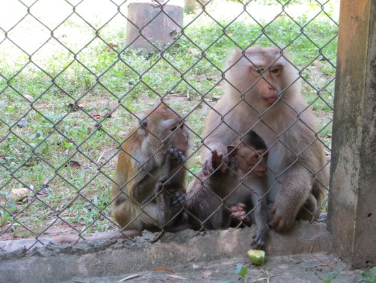 Tha Yang, Thailand: macaques treated after crippling encounters with electricity lines