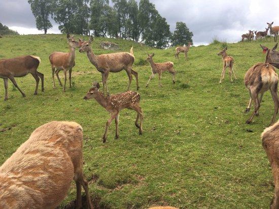 Aviemore, UK: Deer on the farm