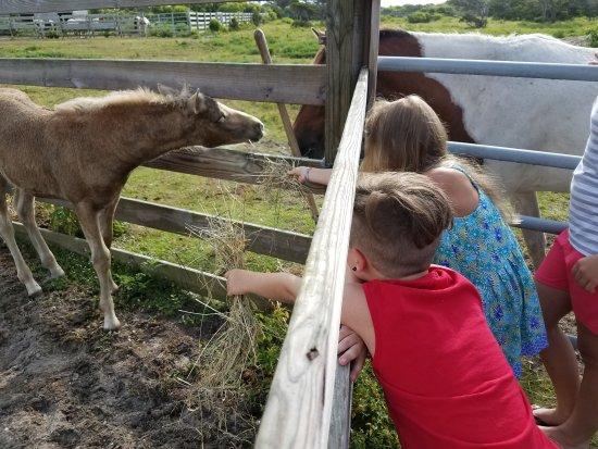 Ocracoke Pony Pens: 20170704_085212_large.jpg