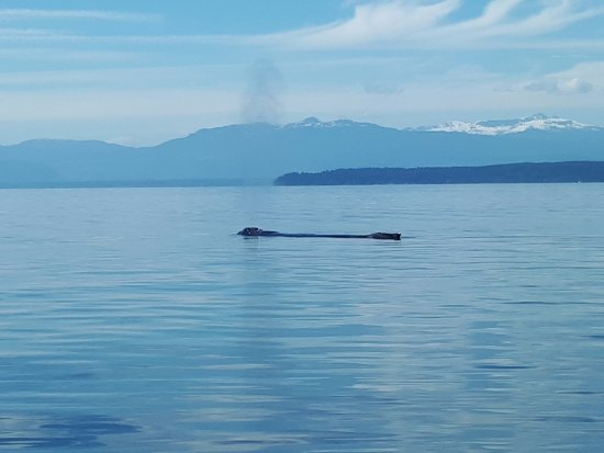 Campbell River, Kanada: Sleeping Humpback, southern tip of Quadra Island in background.