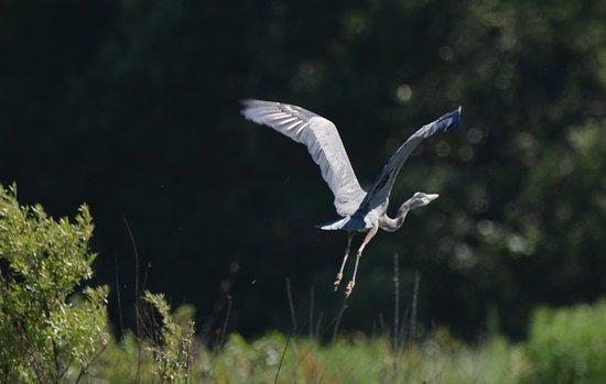 Klamath River Jet Boat Tours: Great Blue Heron
