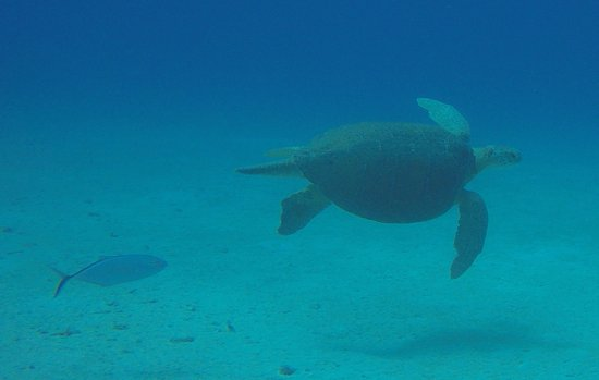 N2theBlue Scuba Diving : 200lb Green Turtle