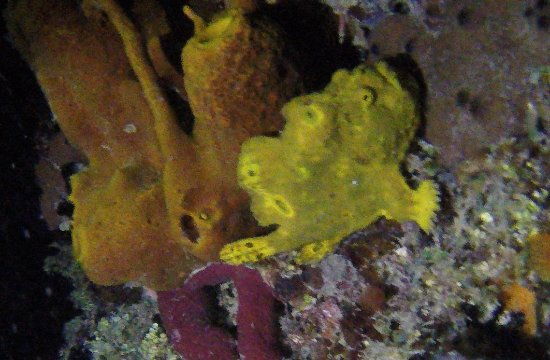 N2theBlue Scuba Diving: Frog Fish on the Pier at Night