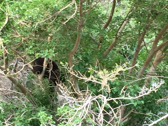 Oxbow, OR: Bear eating berries in a tree overhanging the Snake River.