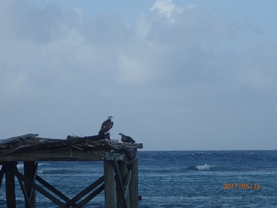 Tobacco Caye, Belice: Ospresy nesting close to the Jetty