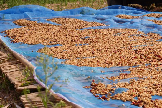 OvOsalad: Coffee Honey Process. Erabica Coffee, Nan, Thailand