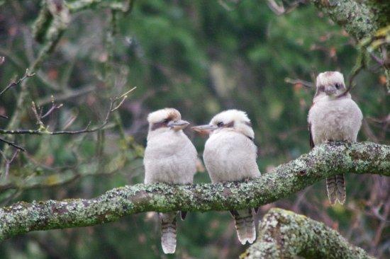 Mount Dandenong, Australia: Kookaburra family