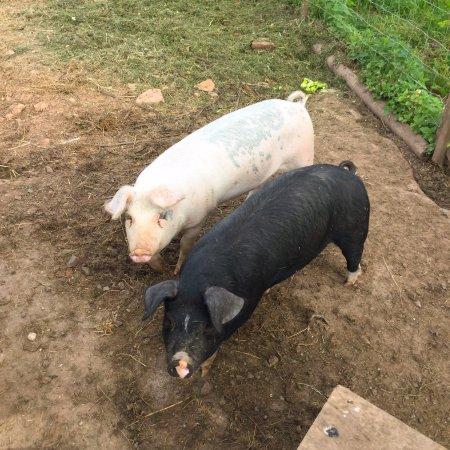 Ivington, UK: Dora & Daisy the friendly piggies