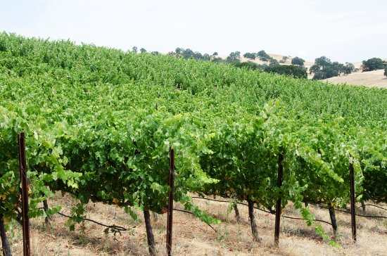 Amador City, Californien: Our Vineyard