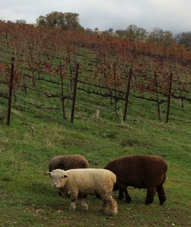 Amador City, Kalifornia: Our babydoll sheep in the Vineyard