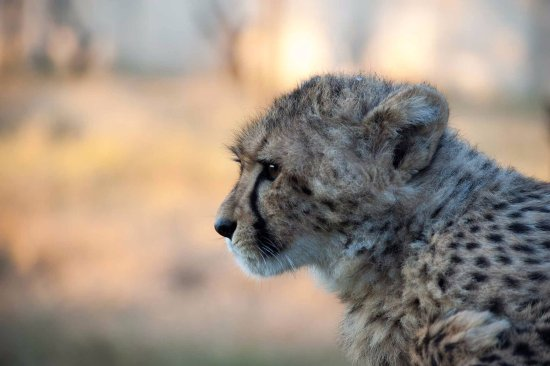 Bloemfontein, Sudáfrica: Closeup of one of our cheetahs
